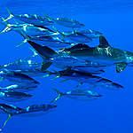 MSC-Fisch: nicht sauber