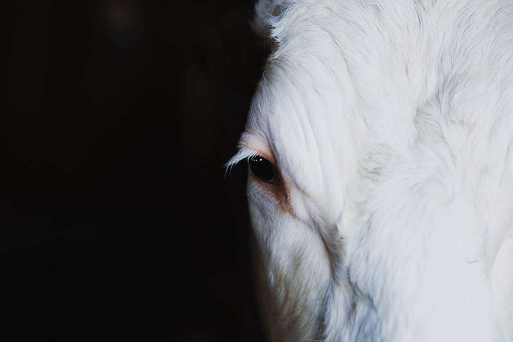 Klimasünderin Kuh: lassen sich schädliche Methanemissionen mit der Genschere zurechtstutzen?